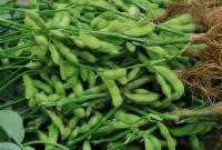 Cara Menanam Tanaman Kacang Kedelai