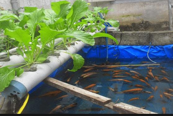 Panduan Lengkap Cara Budidaya Ikan Gurame di Kolam Terpal ...