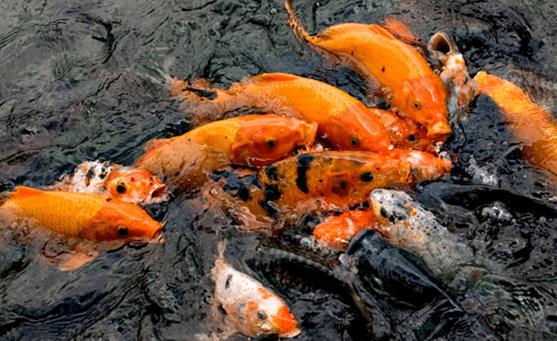 Panduan Lengkap Cara Budidaya Ikan Mas Di Kolam Tanah ...