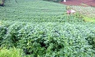 Kentang (Solanum tuberosum L) merupakan sumber utama karbohidrat, sehingga menjadi komoditi penting. para petani indonesia dan pengusaha berupaya meningkatkan produksi kentang nasional secara kuantitas, kualitas dan tetap berdasarkan kelestarian lingkungan