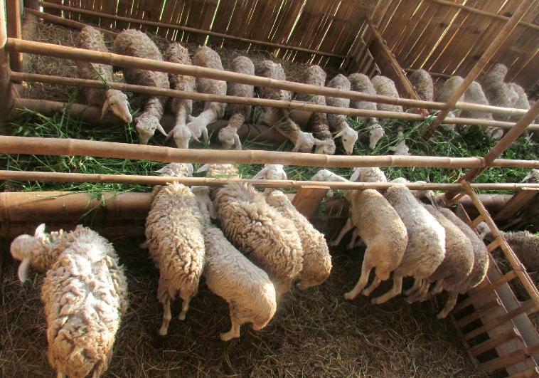 Panduan Lengkap Cara Beternak Domba Yang Menguntungkan Di Desa
