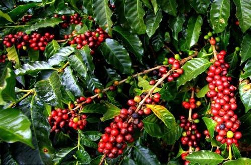 Literatur Lengkap, Budidaya Kopi Arabika (Coffea Arabica) Untuk Pemula