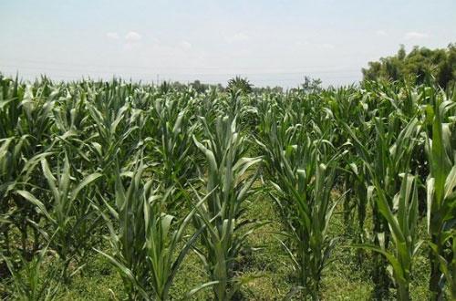 Intensifikasi Teknis Lengkap Budidaya Jagung Tanpa Olah Tanah (TOT)