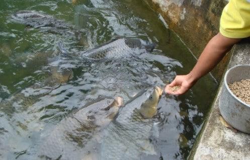Teknik Sederhana Budidaya Ikan Dalam Parit Agar Bermutu Tinggi